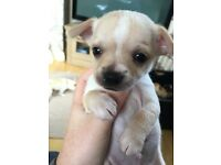 Chihuahua puppies for sale, two boys and two girls!!