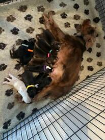 KC Sable Show type cocker spaniel puppies (extensively health tested)