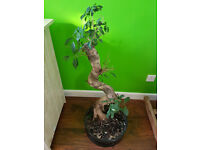 BONSAI FOE SALE