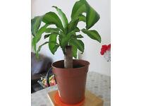 DRACAENA MASSANGEANA Indoor / Outdoor Plant