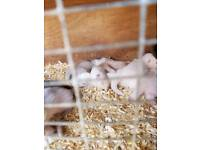ferrets kits for sale