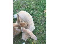 8 week old lionhead cross bunnies