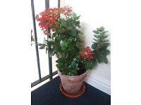 House plant, red kalankoe