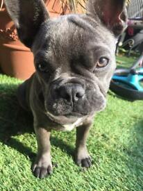 Blue Frenchie pup