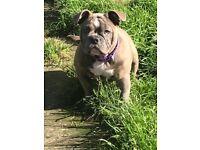Stunning olde English bulldog 6 months old
