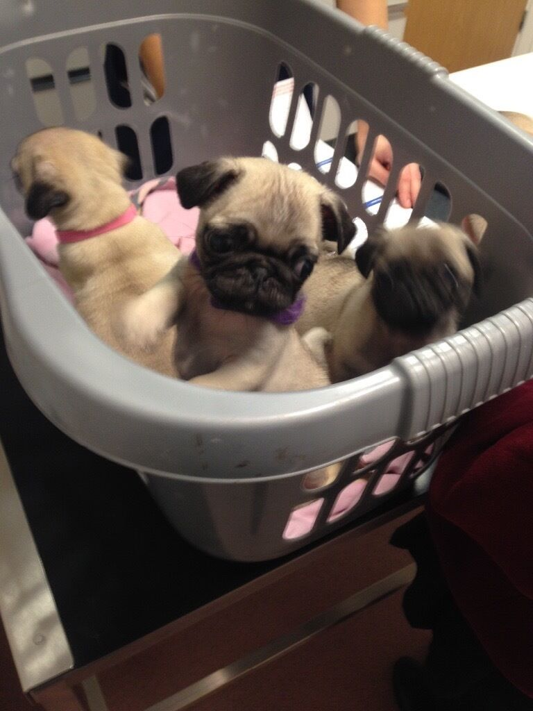 Kc registerd pug puppies for sale, fawn girls ready to go to good homes.