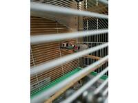 Zebra finch for sale pairs