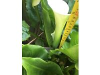 crowenburgh arum lilies