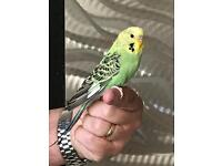 Gorgeous tame baby budgie with new cage
