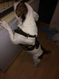 2 year old female prindle and white staffy