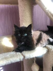 Cute fluffy kittens for Sale!