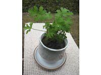 Lemon Geranium in Decorative Ceramic Plant Pot in a Denbigh Saucer for £7.00