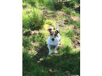 Miniature Jack Russell Puppies Expected