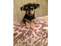 Chorkie female pup