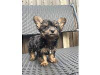Yorkshire terrier girl puppy