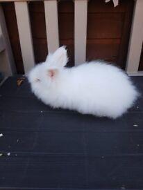 12 week old male baby rabbit minilop x lionhead