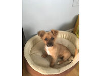 5 month old yorkie x