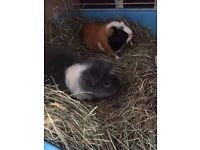 2 guineapigs with indoor cage