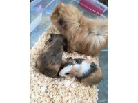 Two baby female guinea pigs