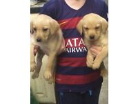Stunning golden Labrador pups for sale