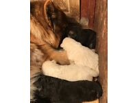 Gorgeous long haired chunky pure gsd puppies