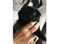Stunning male pug puppies