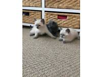 Ragdoll x Russian blue kittens