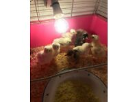 Day old chicks for sale £10 each