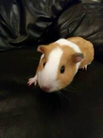 Girl guinea pig