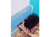 Baby male mini lopped rabbit