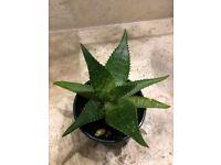 Aloe plant (No 2)