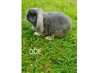 Mini dwarf lop eared rabbits