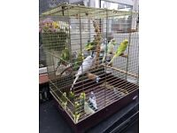 Budgies £15 each