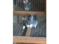 X2 female chinchillas and full set up