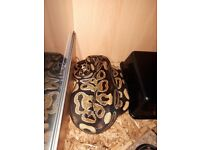Royal Python and set up.