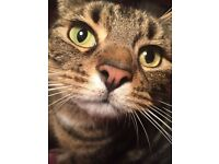 Lost LOLA small tabby female cat 2 years old