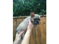 ** KC REG FRENCH BULLDOG PUPPIES ** HEALTH TESTED