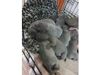 7 Blue staffy pups order for end of May