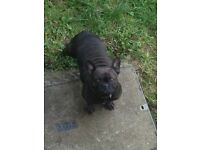 French bulldog bitch 2 year old full kc and 5 gen pedigree