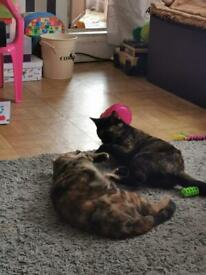 2 female 1 year old kittens