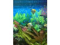 Tropical fish/ aquarium/ Angel fish (pair)