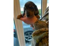 One male dapple mini smooth short haired daschund for sale