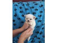 Beautiful little puppy Maltese ready now