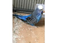 English exibition Budgie for sale