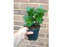 Kalanchoe indoor plant in small pot £2 each