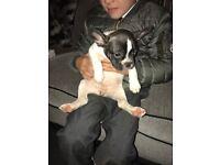 French bulldog girl puppy