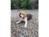 Lovely beagle puppy