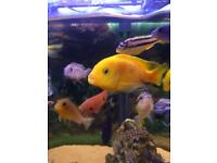 African cichild tropical fish