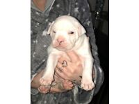 Alapha blue blooded bulldogs, 1 girl 1 boy left!