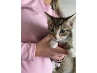 Kittens for sale - male
